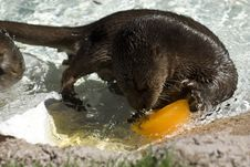 Free Spotted Neck Otter Royalty Free Stock Image - 20947316