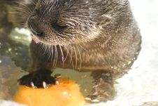 Free Spotted Neck Otter Royalty Free Stock Image - 20947346