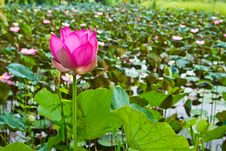 Free Pink Lotus In The Pond Royalty Free Stock Images - 20947379