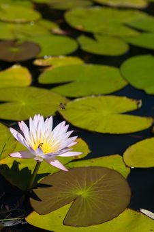 Free Water Lily Stock Photos - 20947463
