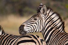 Free Zebra Face Royalty Free Stock Photos - 20947668