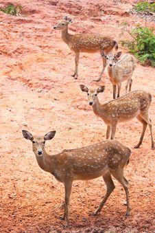 Free Group Of Fallow Deer Royalty Free Stock Image - 20948036