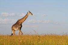 Male Giraffe Royalty Free Stock Photo