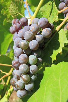 Free Grapes Cluster Stock Images - 20949724
