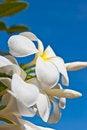 Free White Frangipani Flowers Stock Photography - 20950322