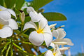 Free White Frangipani Flowers Stock Photography - 20950402