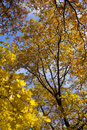 Free Autumn Yellow Leaves Royalty Free Stock Photo - 20951705