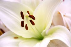 Free Lily Detail Stock Photos - 20950323