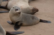 Free Sea Lion Stock Images - 20950464