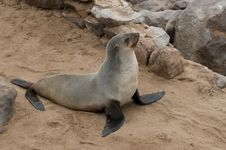 Free Sea Lion Royalty Free Stock Photo - 20950535