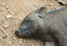 Free Sleeping Pig Stock Photos - 20951283