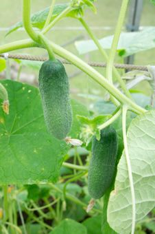 Free Cucumbers Royalty Free Stock Photography - 20951397