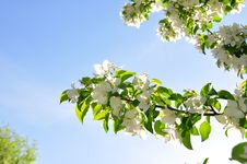 Free Blooming Apple Tree Stock Image - 20951521
