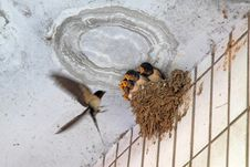 Little Swallow Waiting For Feeding Royalty Free Stock Photo