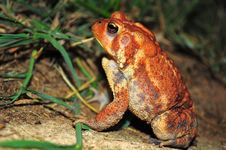 Free Dwarf American Toad Royalty Free Stock Photo - 20951635