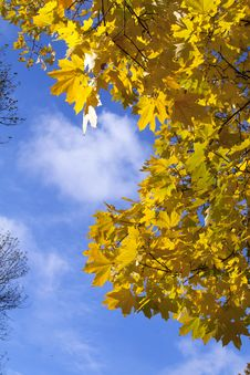 Free Autumn Yellow Leaves Stock Images - 20951694