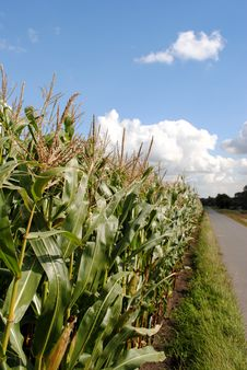 Free Sunny Corn Field Stock Photos - 20952033