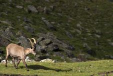 Portrait Of Young Ibex In The Alps Stock Image
