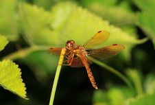 Free Dragonfly Landing On A Green Stem Stock Photo - 20953840