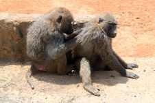 Free Baboon Sratching Partner S Back Stock Photos - 20955603
