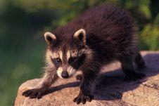 Free Baby Raccoon Stock Photography - 20956692