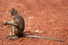 Free Monkey Royalty Free Stock Photography - 20956707