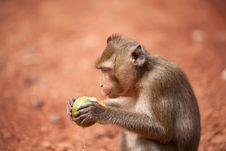 Free Monkey Stock Image - 20956721