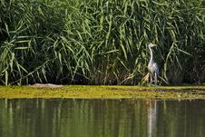 Free Grey Heron Stock Images - 20957104
