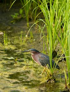 Free Green Heron Royalty Free Stock Image - 20957176