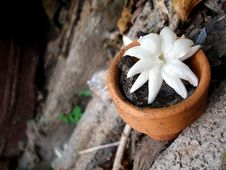 Free A Jasmine In Small Pot Royalty Free Stock Photography - 20957297