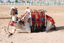Free Recumbent Camel Royalty Free Stock Images - 20958369