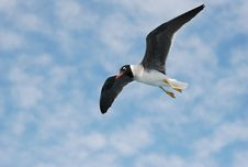 Free Seagull Royalty Free Stock Image - 20958376