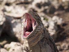 Free Iguana Royalty Free Stock Image - 20959646