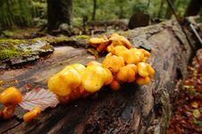 Free Mushrooms On A Tree Royalty Free Stock Photo - 20959725