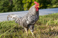 Free Black And White Rooster Stock Image - 20961241