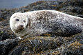 Free Cute Grey Seal. Stock Photography - 20962102