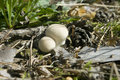Free Mushroom  Lycoperdon Perlatum Stock Photos - 20968613