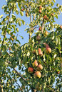 Free Pear Tree. Stock Images - 20969754