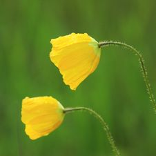 Two Isolated Yellow Flowers Royalty Free Stock Images