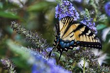 Free Beautiful Fluttering Butterfly Stock Photo - 20961290