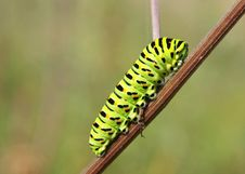Swallowtail Caterpillar Royalty Free Stock Image