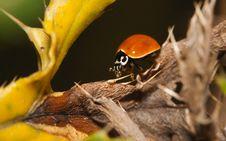 Free Asian Ladybug Beetle (Harmonia Axyridis) Royalty Free Stock Images - 20963339
