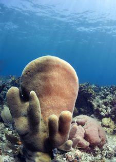 Free Pillar Corals (Dendrogyra Cylindricus) Royalty Free Stock Image - 20963596