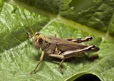 Free Grasshopper Royalty Free Stock Images - 20963629