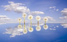 Free Five  Dandelion Clocks On Mirror And Sky Stock Images - 20963844