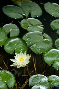 Free White Water Lily Royalty Free Stock Photo - 20964895
