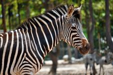 Free Zebra Royalty Free Stock Image - 20965346