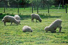Free Sheeps Stock Photo - 20965650