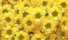 Free Yellow Chrysanthemum  As A Background Or Texture Royalty Free Stock Images - 20965849