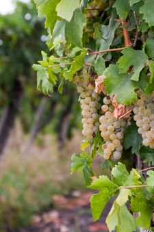 Free Chardonnay Grapes In Hungary Royalty Free Stock Photos - 20967988